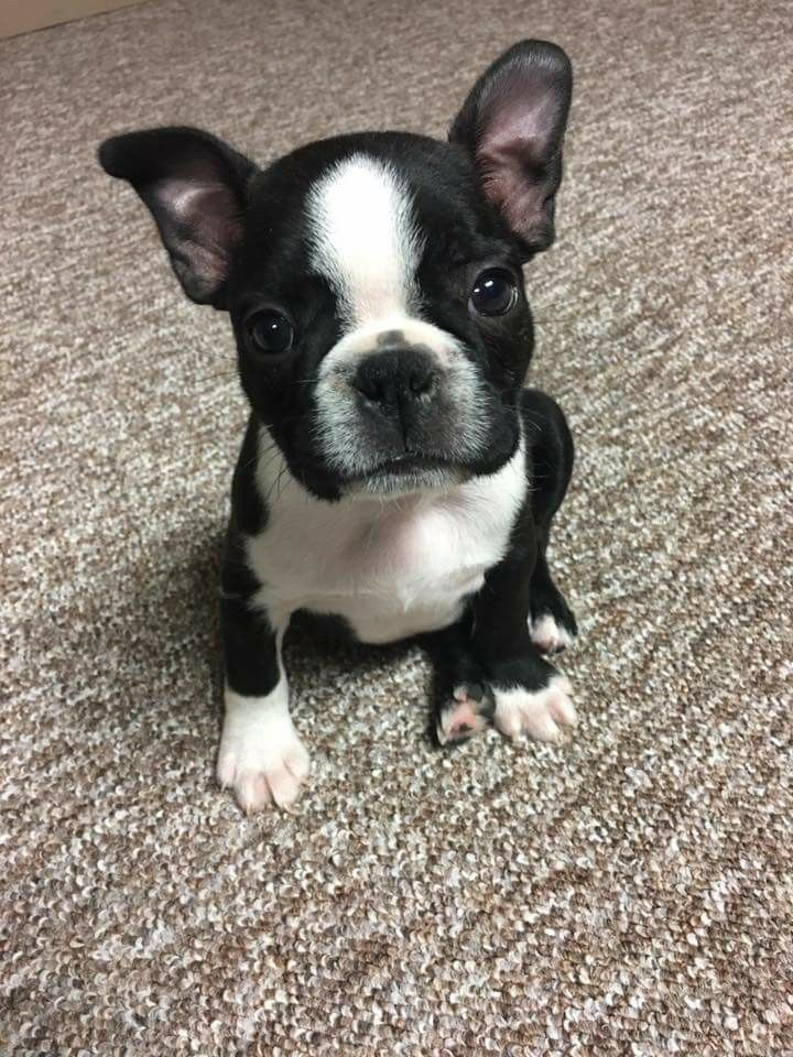 20 Of The Cutest Pictures Of Teacup Boston Terrier Dogs With