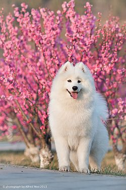 Samoyed by Alfred M. on Flickr. My mom had one in highschool named snowball