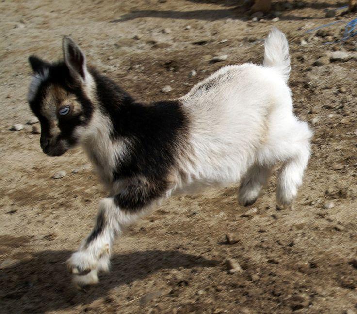 Celebrity dairy goat farm