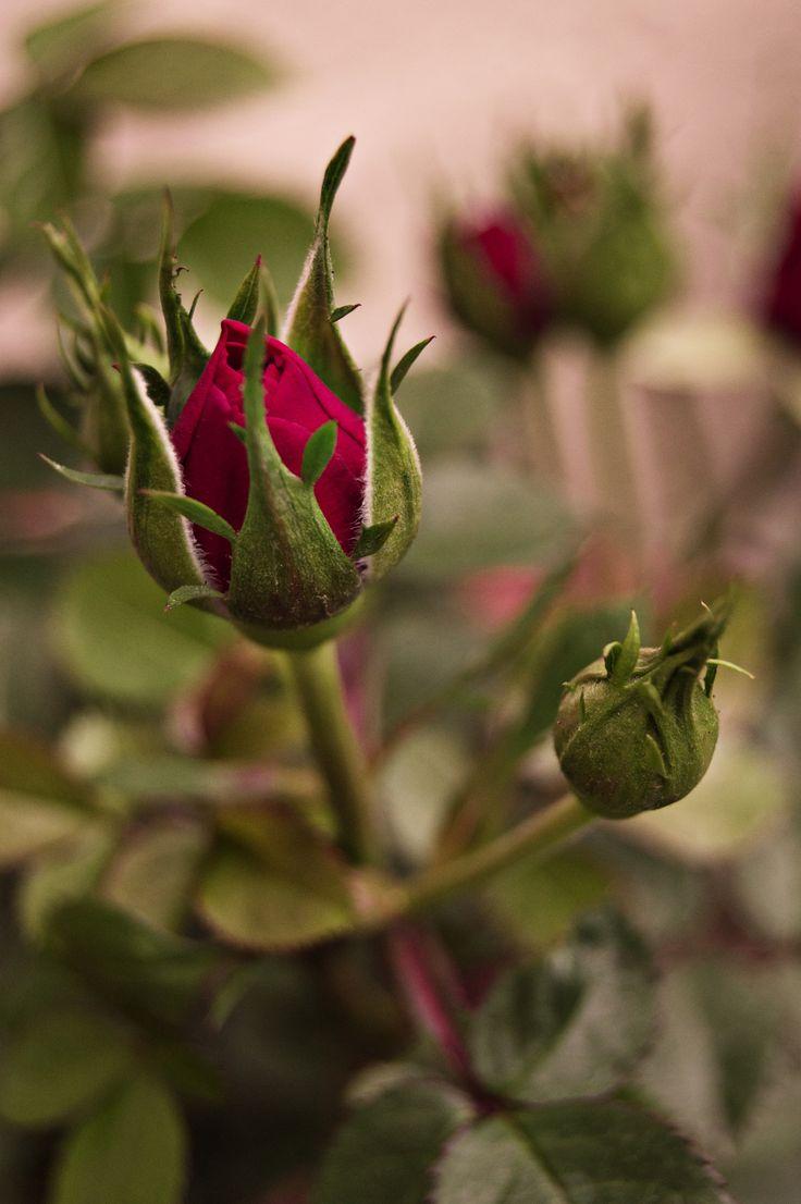 16 best pintura de flores images on Pinterest | Red roses, Beautiful ...