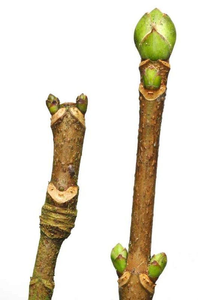 Acer pseudoplatanus - Google keresés