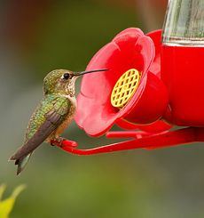 Create your own Hummingbird Nectar with Granulated Pure Cane Sugar! In the natural world, hummingbirds feed on a combination of flower nectar and insects. Flower nectar is a plain chemical solution of