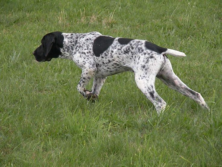 auvergne pointer | Auvergne Pointer (Braque) Breeding from the Puys d'Auvergne - Breeding ...