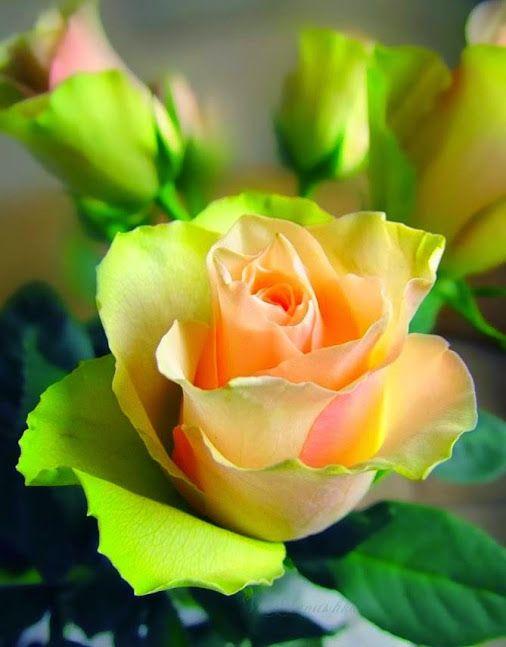 Надписью, красивые открытки чайная роза