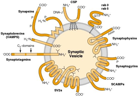 Figure 9-2. Trafficking proteins of synaptic vesicles (see Table 9-1).