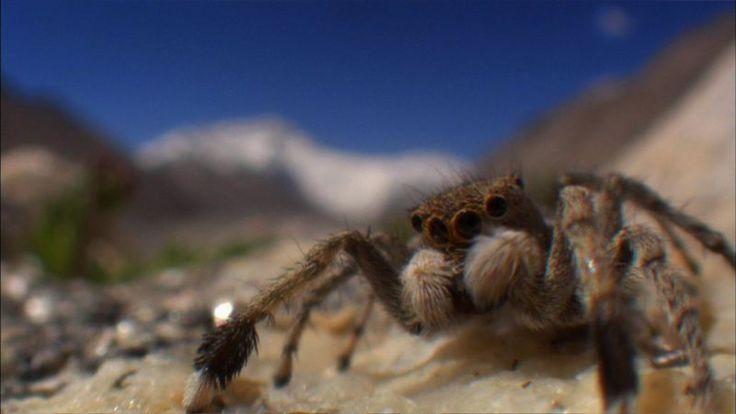 http://janewclarke.kinja.com/extreme-bugs-1750894558# #spiders #mountainspider #ontopoftheworld