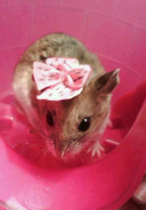 Dolshay-my chinese dwarf hamster (RIP 12/2013)