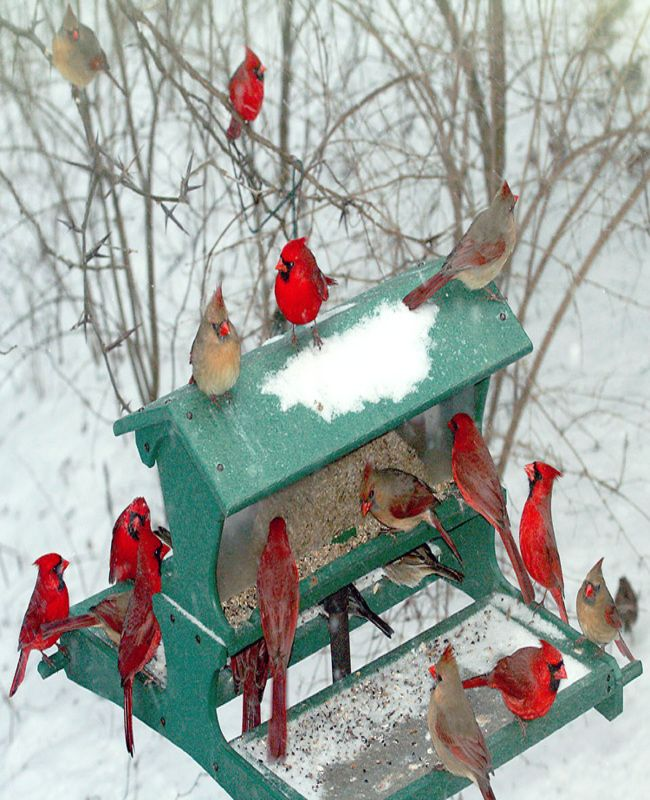 Cardinals adorn a bird feeder