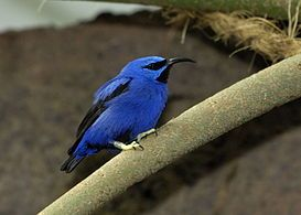 Purple honeycreeper - Wikipedia