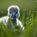 duckAnimal Baby, Swan Baby, Ducks Precy, Baby Ducks, Baby Goo, Ducks Baby, Black Swan, Feathers Friends, Baby Black