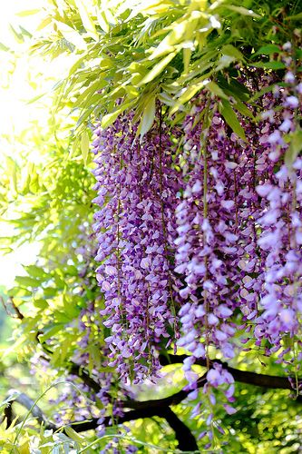 Wisteria my all time favorite.... I so hope mine made it through the cold long winter!!!