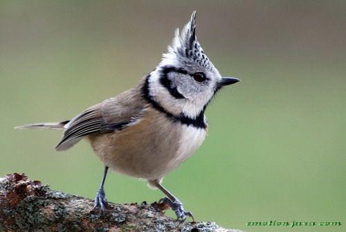 Mésange Huppée // Haubenmeise // Chapim-de-Poupa // Crested Tit (Lophophanes Cristatus) #aves #animalia #paridae