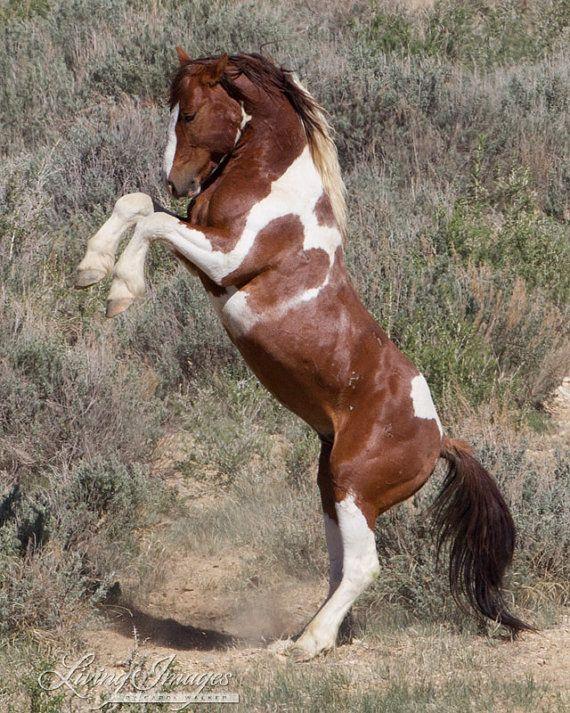 Cría de Apache - Fine Art fotografía de caballo salvaje - caballo salvaje - Apache