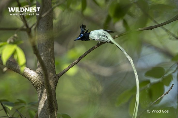 asian paradise fly catcher in tadoba by vinod goel