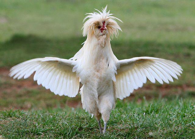 """Chicken """"Bob's Mom"""" 2989"""