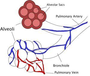 Pulmonary surfactant - Wikipedia, the free encyclopedia