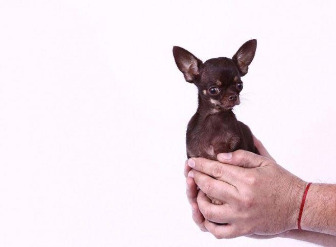 Guinness Dünya Rekorları 2014 - Dünyanın en küçük köpeği, Porto Riko Millie adında bir chihuahua. (yüksekliği 9.65 cm)