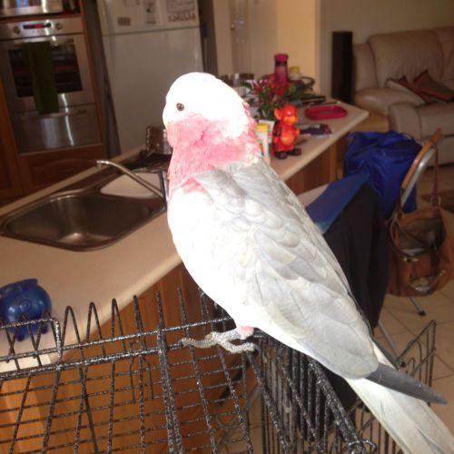 LOST: Gizmo http://ow.ly/E5DgQ Pink Grey, Galah #Kellyville #Sydney NSW #LostBirdKellyville #LostBirdSydney #LostBirdNSW #LostPetFinders
