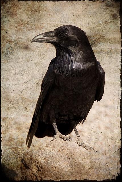 raven,
