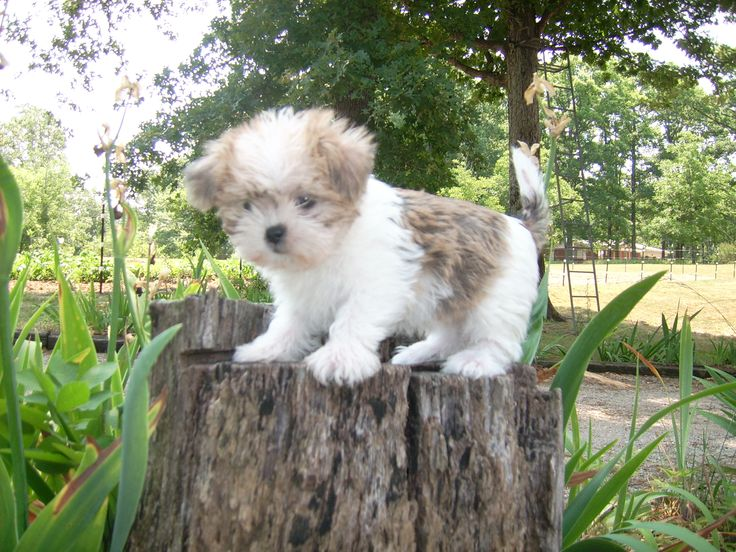 Shih Tzu / Maltese mix - not as cute as peaches