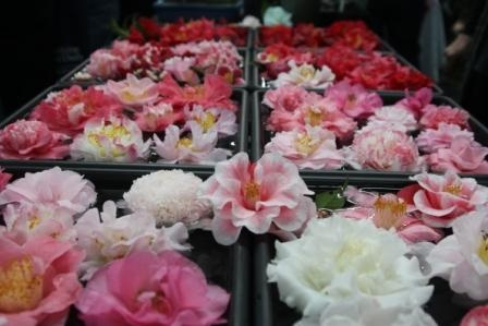 Such a huge selection of Camellia plants to choose from at the QLD Garden Expo