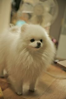 White Pomeranian Moa, Art. This little one is just UGH ^.^