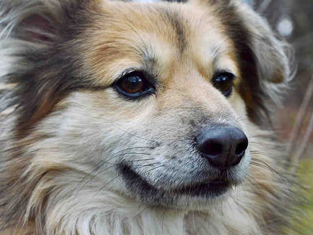 Meet HAYES, a Petfinder adoptable Shetland Sheepdog Sheltie Dog | Pittsburgh, PA | Hi! Thanks for giving me some attention! I'd like you to know that I'm up to date on all my shots,...