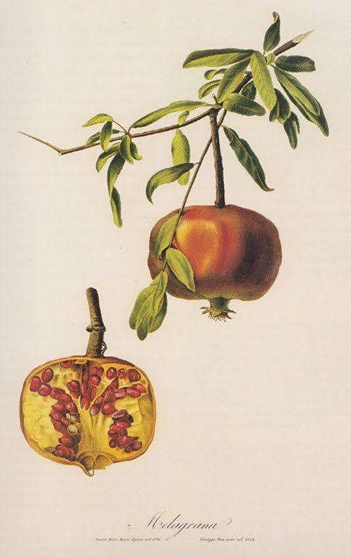From The Garden of Eden bookBotanical Illustration, Beautiful Botanical, Botanical Prints, Art Beautiful, Pomegranates Art, Art Book, Pomegranates Botanical, Botanical Art, Vintage Botanical