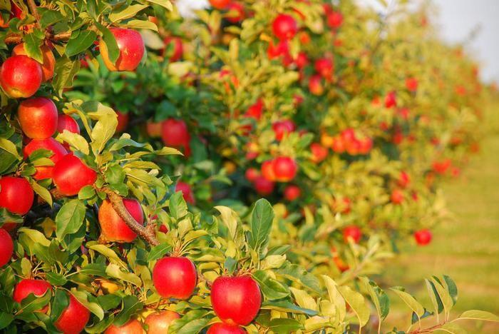 Многие знают, что некоторые овощные культуры нельзя селить на соседних грядках. Скажем, картофель и томаты - плохие соседи, у них общие вредители и болезни. А вот о том, что и в саду действуют те же …