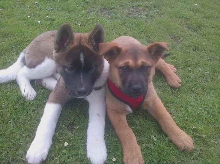 Akita Rottweiler Mix Puppies For Sale