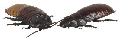 Cómo hacer una pasta exterminadora de cucarachas con polvo de ácido bórico   eHow en Español