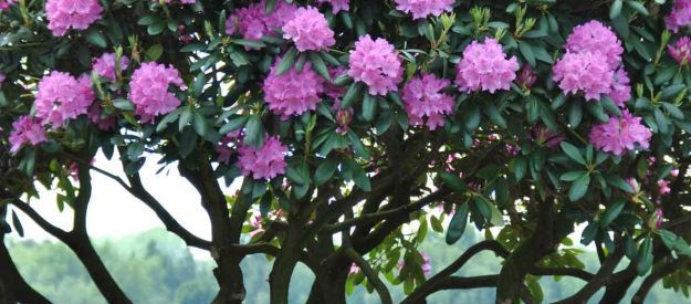 Van den Berk Nurseries | Evergreen trees and shrubs