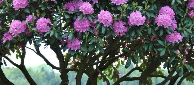 Van den Berk Nurseries   Evergreen trees and shrubs