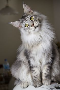 Maine Coon Cat - Silver tabby, beautiful!