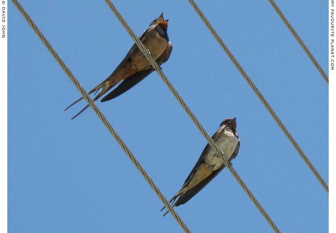 Swallows in Amphipolis, Macedonia, Greece at My Favourite Planet