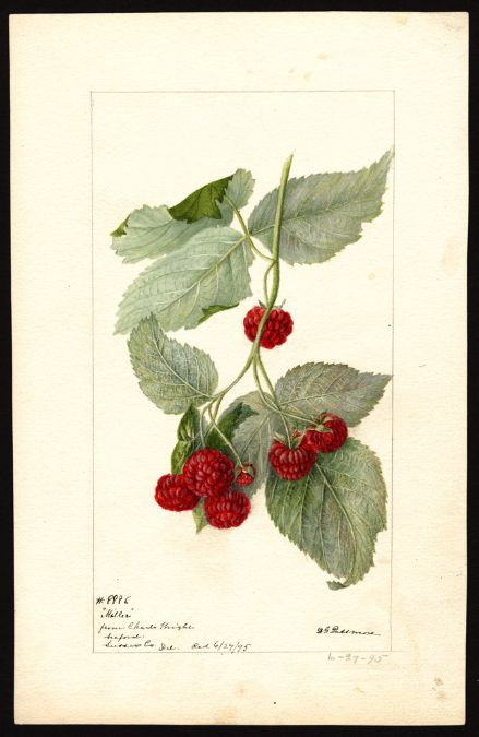 Artist:Passmore, Deborah Griscom, 1840-1911 Scientific name:Rubus Common name:brambles Variety:Miller  art original : col. ; 16 x 25 cm. Year:1895
