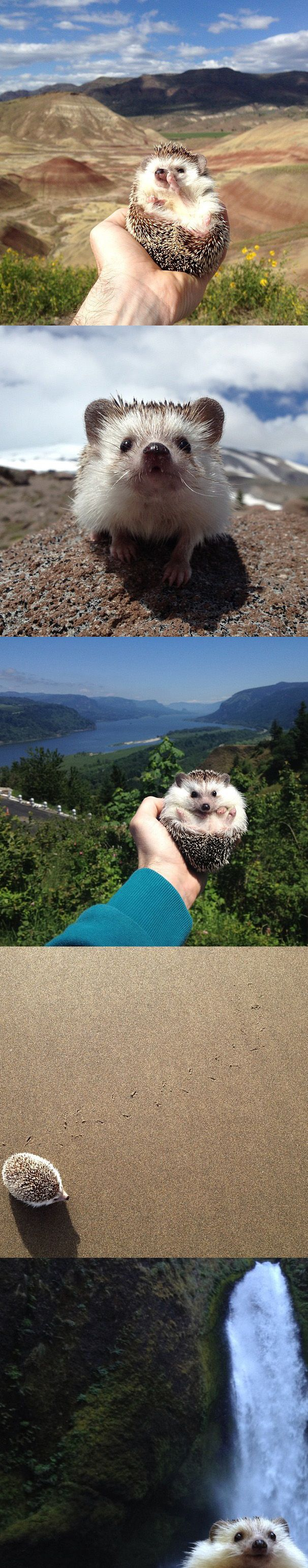 Biddy is a three year old male African Pygmy Hedgehog from Fairview, Oregon that loves to get out and explore. He's travelled far and wide in the United States, and has been on roadtrips and hikes, as well as on summer and winter expeditions.