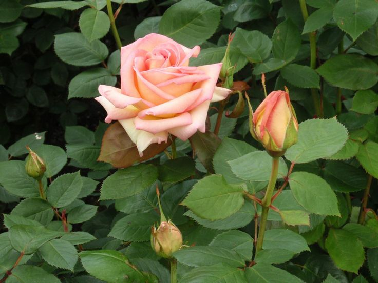 Rosa 'The Lady'. Described and illustrated in the plant guide of my website http://www.aboutgardendesign.com