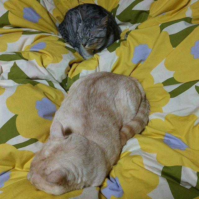 昨夜のとらまろ とらの場所をまろが占領しちゃって、とらは遠慮気味に足元へ😅  #とらまろ #toramaro #サバトラ #アメショもどき #笹かま猫 #睡眠中 #sleepingcats #ふとんの海  #愛猫 #まなねこ #みんねこ #猫 #cat #katze #neko #猫好き #catlover #ilovecat #にゃんスタグラム #cats_of_instagram #catstagram #犬猿の仲 #ふわもこ部#ペコねこ部 #ぽっちゃり #小太り #fatcat #topcatphoto #癒やし