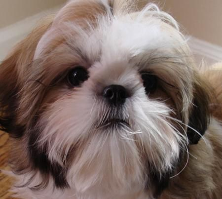 shih tzu's will alway have a special place in my heart...this face says everything