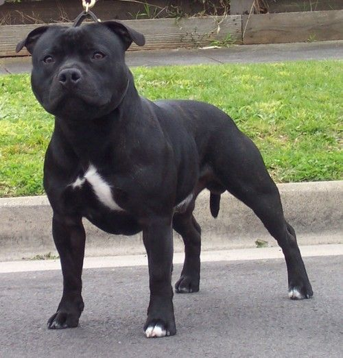 Staffie, Softest dog in the world, mine has made my family, dont blame the dog for bad press blame the savages who fight them!