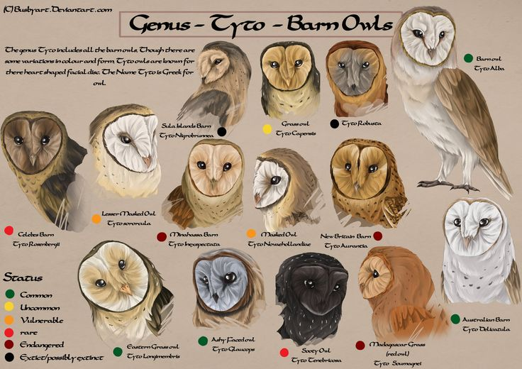 Tyto species chart by *busbyart on deviantART