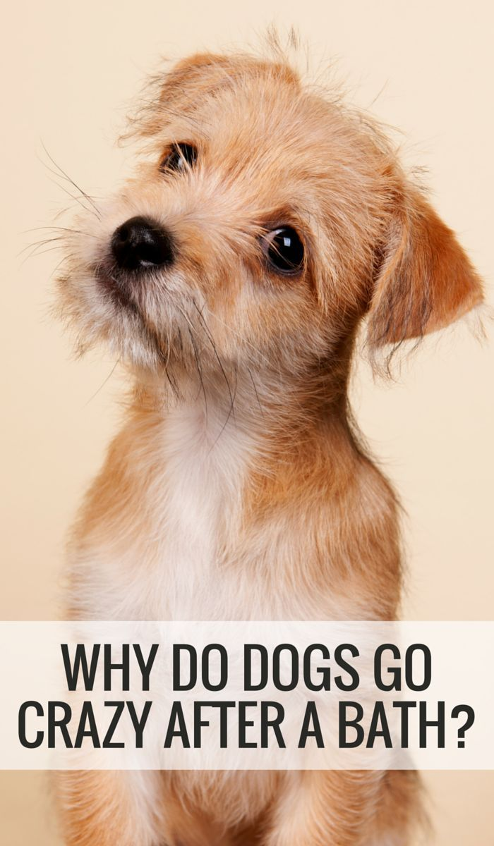 Why Do Dogs Go Crazy After A Bath Dogs Your Dog Cute Animals