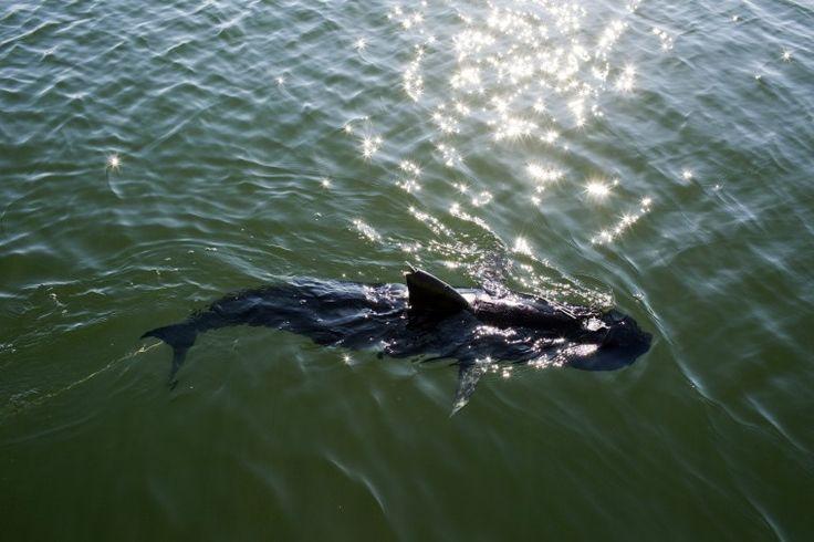 Amerikaanse marine zet onder water drone in die lijkt en zwemt zoals haai