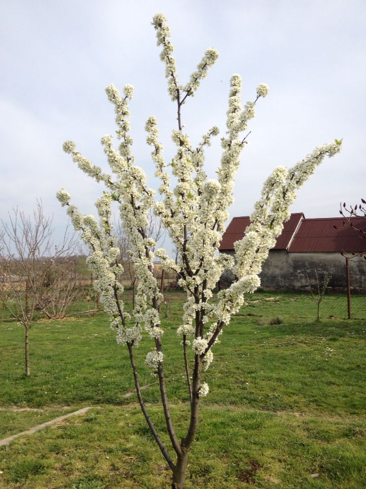 Virágzó szilvafa - Flowering Plum Tree 2015