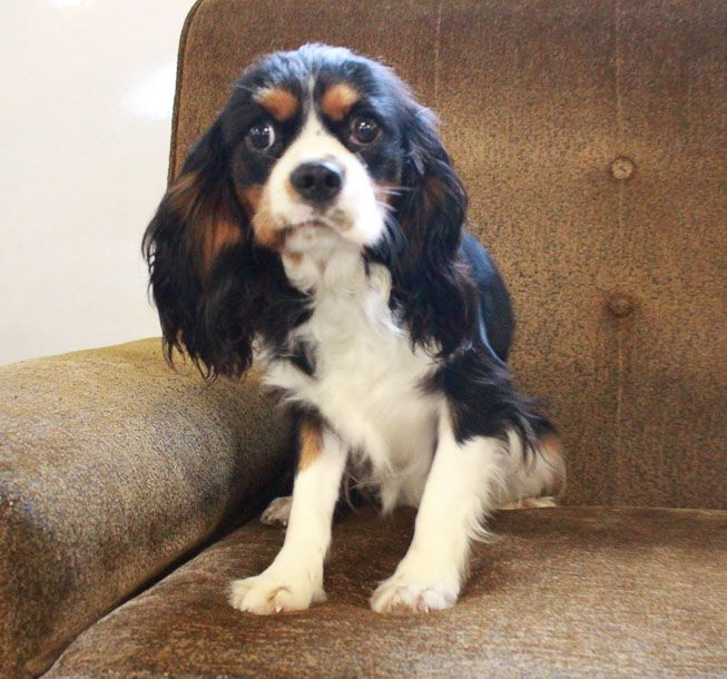 Brantley Cavalier Dog Cavalier King Charles Cute Puppies For Sale