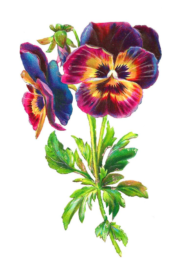 Antique Images: rainbow pansy