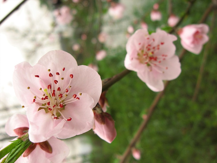Click to see the original size of Beautiful-Plum-flower: Plum Flowers, Flowers Pictures, Beautiful Things, Flowers Tags, Beautiful Plum Flowing