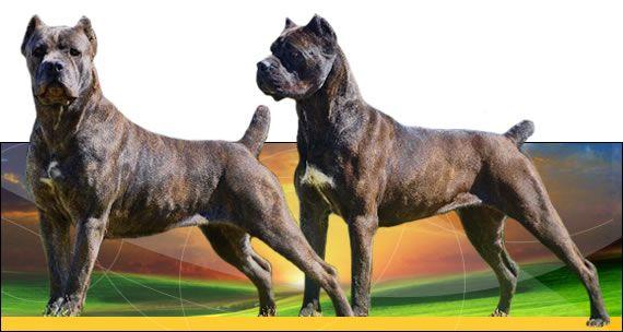 Alcor Cane Corso Breeder with Pupies For Sale in Ohio