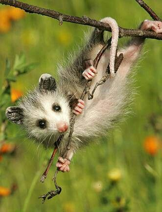 Possums are one of the sweetest animals ever. They can't carry diseases and would never hurt anyone or anything. They are adorable and lovable I wish I had one! FAVORITE ANIMAL❤❤❤